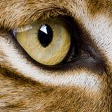 Primo piano su un occhio del feline - lince euroasiatico Fotografie Stock Libere da Diritti