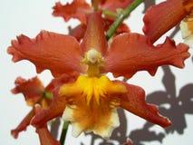 Primo piano su un'orchidea rossa Immagini Stock