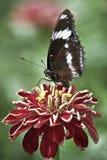Primo piano su una farfalla. Immagini Stock Libere da Diritti