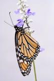 Primo piano su una farfalla. Fotografie Stock