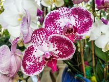 Primo piano su una fioritura macchiata dell'orchidea Fotografie Stock Libere da Diritti