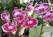 Primo piano su una fioritura macchiata dell'orchidea Fotografia Stock