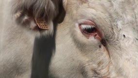 Primo piano su una mucca archivi video