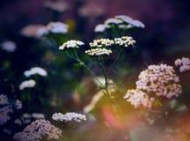 Primo piano su una pianta bianca del millefoglio in fioritura immagini stock