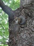 Primo piano su uno scoiattolo che mangia nocciola in un albero Fotografie Stock