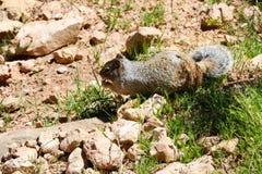Primo piano su uno scoiattolo grigio sveglio che mangia in un parco fotografia stock