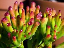 Primo piano succulente/macro fotografia stock
