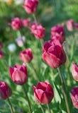 Primo piano sui fiori freschi rossi del tulipano Fotografia Stock Libera da Diritti