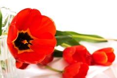 Primo piano sul bello tulipano rosso e su più fiori dietro Fotografia Stock Libera da Diritti