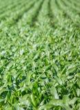 Primo piano sul campo di grano verde Immagini Stock Libere da Diritti