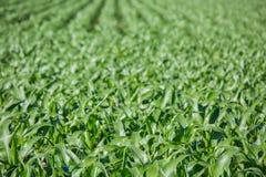 Primo piano sul campo di grano verde Immagine Stock