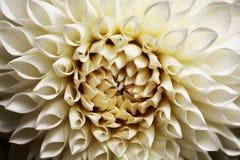Primo piano sul fiore di seppia Fotografie Stock Libere da Diritti