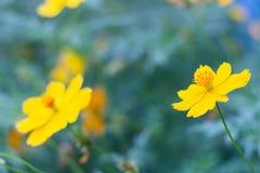 Primo piano sul fiore giallo fiorito fotografia stock libera da diritti