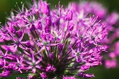 Primo piano sul flowerhead porpora dell'allium Un fiore delle cipolle porpora nel giardino Bello arco decorativo di fioritura Fotografia Stock Libera da Diritti
