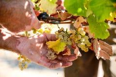 Primo piano sul mazzo di uva che è selezionata dalla fila Fotografia Stock Libera da Diritti