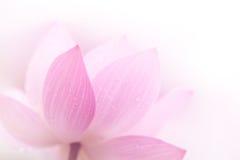 Primo piano sul petalo del loto Fotografia Stock