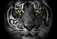 Primo piano sul ritratto monocromatico del fronte di una tigre con akcent sul YE fotografie stock