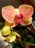 Primo piano sull'orchidea arancio Fotografia Stock Libera da Diritti