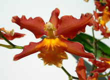 Primo piano sull'orchidea rossa Fotografie Stock Libere da Diritti