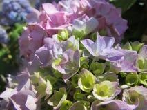 Primo piano sull'ortensia di fioritura di A fotografie stock libere da diritti