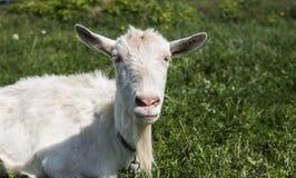 Primo piano sulla capra divertente bianca su una catena con una barba lunga che pasce sul campo verde del pascolo in un giorno so Fotografia Stock