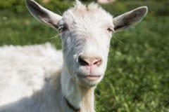 Primo piano sulla capra divertente bianca su una catena con una barba lunga che pasce sul campo verde del pascolo in un giorno so Immagini Stock