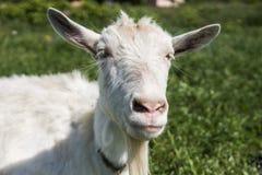 Primo piano sulla capra divertente bianca su una catena con una barba lunga che pasce sul campo verde del pascolo in un giorno so Fotografia Stock Libera da Diritti