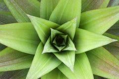 Primo piano sulla pianta di ananas Fotografie Stock