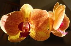 Primo piano sulle orchidee arancio Immagine Stock