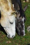 Primo piano sulle teste del cavallo che pascono sull'erba rara Fotografia Stock