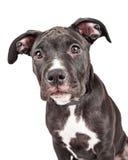 Primo piano sveglio del cucciolo dell'incrocio Immagine Stock