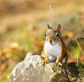 Primo piano sveglio dello scoiattolo rosso Fotografia Stock