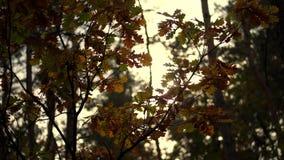 Primo piano, tramonto delle nelle foglie colorate multi ingiallite della quercia della foresta di autunno che fluttuano nel vento video d archivio