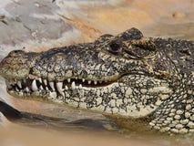 Primo piano a trentadue denti dell'alligatore Fotografie Stock