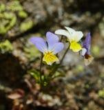 Primo piano tricolore del fiore della viola Immagini Stock Libere da Diritti