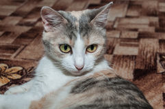 Primo piano tricolore del gatto Fotografie Stock