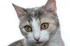 Primo piano tricolore del gatto isolato Fotografia Stock Libera da Diritti