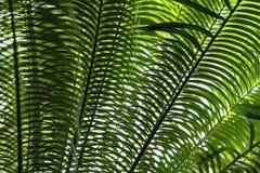 Primo piano tropicale dei rami di albero della palma da datteri con luce naturale Struttura astratta, fondo esotico naturale di v fotografia stock libera da diritti