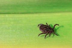 Primo piano Un acaro pericoloso del trasportatore di infezione e del parassita che si siede su una foglia verde immagini stock libere da diritti