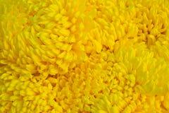 Primo piano un il gruppo di crisantemo giallo Fotografia Stock Libera da Diritti