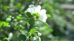 Primo piano Un ramo di fioritura della cotogna giapponese con frutta verde Cespuglio della frutta con i bei fiori bianchi ed il v video d archivio
