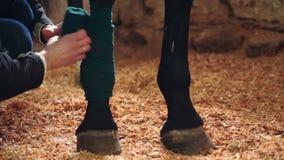 Primo piano, un uomo che benda la gamba del cavallo Le gambe del cavallo sono protette con le fasciature stock footage