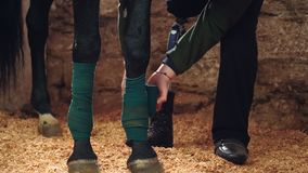 Primo piano, un uomo che benda la gamba del cavallo Le gambe del cavallo sono protette con le fasciature archivi video