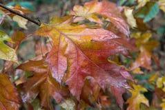 Primo piano variopinto bagnato delle foglie Immagini Stock