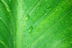 Primo piano verde bagnato della foglia Immagini Stock