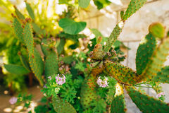 Primo piano verde dei cactus nel Montenegro Cactus nel paesaggio urbano Fotografia Stock