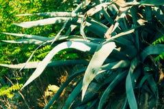 Primo piano verde dei cactus nel Montenegro Cactus nel paesaggio urbano Immagine Stock Libera da Diritti