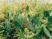 Primo piano verde dei cactus nel Montenegro Cactus nel paesaggio urbano Immagini Stock Libere da Diritti