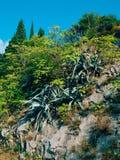 Primo piano verde dei cactus nel Montenegro Cactus nel paesaggio urbano Fotografie Stock Libere da Diritti