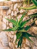Primo piano verde dei cactus nel Montenegro Cactus nel paesaggio urbano Fotografia Stock Libera da Diritti